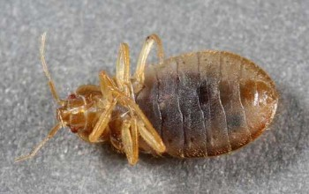 A ventral view shows the bedbug's piercing-sucking mouth. Look between the antennae where it starts, and goes to the right, midway between the red eyes, projecting up. The small dark spots at the edges of each abdominal segment are the breathing pores called spiracles. © 2010 Lenny Vincent