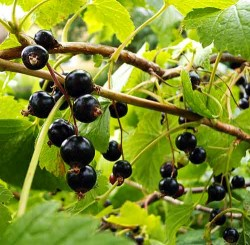 Black currant bush