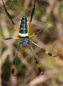 Golden silk orb weaver spider, 4-5 inches toe-to-toe.