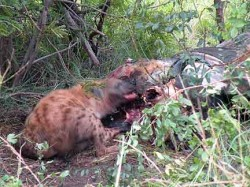 Seven or eight hyenas fought over this meal of buffalo.