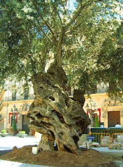 An ancient olive tree in Palma de Mallorca.