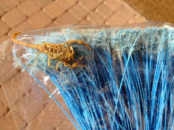 How to kill a scorpion: use a broom wrapped with tape, sticky side out.