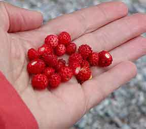 Tiny wild strawberries called smultron